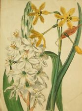 Hand coloured Narcissus flower antique engraving; Sherwood & Co 1811