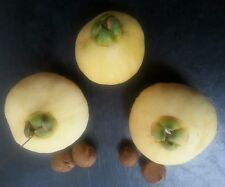 5 rose apple seeds, Fruit Syzygium Jambos seeds, fresh seeds