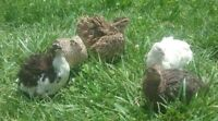 50+ Mix Coturnix Quail Hatching Eggs By Myshire. 20 Different Colors Included!!