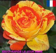 10 GRAINES DE FLEURS ROSIER RARE ORANGE  BLEU EN EXPEDITION RAPIDE DEPUIS LA FR