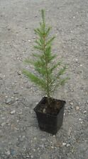 "Cedrus Libani - in 9cm pot ideal bonsai subject  Cedar of Lebanon 10"" tall"