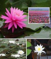 Set Seerosen Rosenymphe + Virginalis Teichpflanzen Pflanzen für den Gartenteich