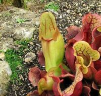 "Sarracenia Carnivorous Pitcher Live Plant - 3"" Pot Garden Outdoor Best Gift"