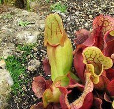 "Sarracenia Carnivorous Pitcher Plant- 3"" Pot Garden Outdoor Best Gift New"