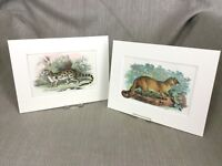 1896 Antico Impronte Wild Animali Gatti Jaguarundi Eyra Genetta Cromolitografia