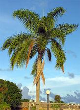 Syagrus romanzoffiana 10 x palm tree seeds / palm boom zaden