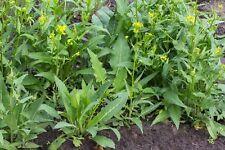 50 Graines Bio Bunias d'Orient 'Bunias orientalis' Organic Turkish Rocket seeds