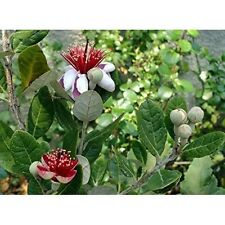Pineapple Guava Plant Easy to Grow Feijoa Acca sellowiana Τubs 4 Pot Garden