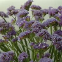 Statice Seeds Fortress Heavenly Blue 250 Flower Seeds Garden Starts Nursery