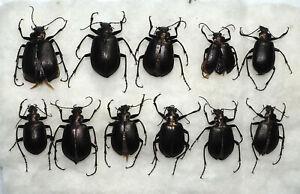 Carabidae. 11 x Calosoma oceanicum. Wetar Is. (12)