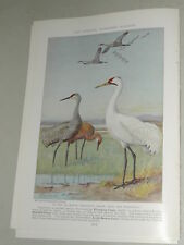 1937 SHORE BIRDS, CRANES, AND RAILS magazine article, Allan Brooks color art