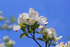 Flowering White Dogwood Cornus florida 1-2' Lot Of 10