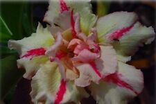 Adenium Obesum Special Mix 50 Seeds From Double/Triple Flowering Plants!