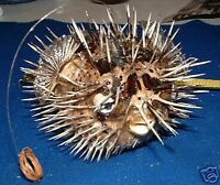 """PORCUPINE BLOW FISH TAXIDERMY W/ HANGER DRIED DISPLAY DRIED FISH 9""""+"""