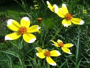 Bidens 'Hannay's Lemon Drop' - 3 x Perennial Plants in 9cm Pots