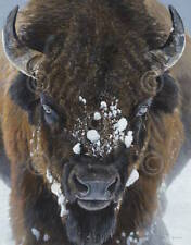 Winter Warrior Terry Isaac Buffalo Bison Wildlife Print Poster 11x14