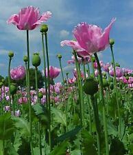 Echter Schlafmohn Samen - Papaver somniferum - Blaumohn  - Blue Opium poppy seed