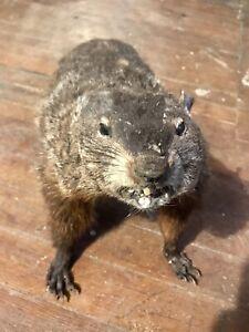 XL Woodchuck! Taxidermy Beaver With Real Teeth Mount Life-size Possum Fox Beav