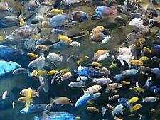 TEN FISH 10 X AFRICAN CICHLID MALAWI AULONOCARA PEACOCKS 3CM NO RESERVE PERFECT