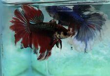 Two betta fish male