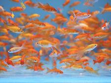 15+ Live Fish Goldfish (SMALL)GUARANTEE ALIVE (FREE 2-Day Shipping)