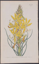 Curtis - Yellow Asphodel or Kingspear. 773 - 1787-1800's The Botanical Magazine
