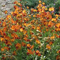 Orange Darling Pea Seeds Arid Living Annual Plant Drought & Frost Tolerant