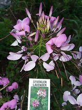 Dwarf Lavender Sparkler Cleome Seeds- (Spider Flower) Comb. S/H See Our Store