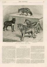 1873-ANTIQUE PRINT loups jardins zoologiques Noir Thibet Antartic (119)