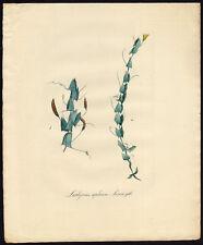 Antique Print-YELLOW PEA-VETCHLING-LATHYRUS APHACA-916-Flora Batava-Sepp-1800