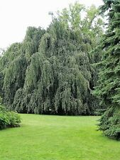 50 SILVER WEEPING BIRCH TREE White European Betula Pendula Alba Seeds * Comb S/H