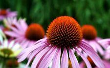 30/500 Seeds Echinacea Purple Flower Perennial Heavy Duty Echinacea Purpurea