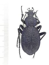 Beetle, н488 Carabidae, Procerus sp. from Crimea
