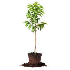 Pawnee Pecan Tree, Live Plant, Size: 5 Gallon