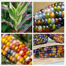 20pcs/bag corn Seeds authentic Glass Gem Indian Corn Seeds! Heirloom, Rainbow, n