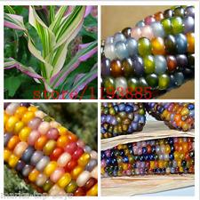 20pcs/bag corn seeds Authentic Glass Gem Indian Corn Seeds! Heirloom, Rainbow, N