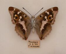 More details for  a british wild caught male purple emperor from pamber forest hants