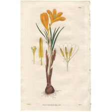 Curtis Botanical Magazine antique 1830 hand-colored engraving Pl 2986 Crocus