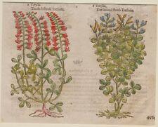 JOHN GERARD BOTANICA MATTHIOLI 1597 CITISO CYTISUS GINESTRA BROOM GENISTA