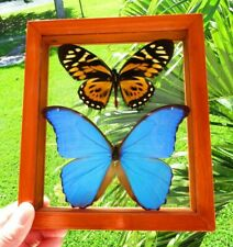 2 REAL FRAMED BUTTERFLY BLUE MORPHO DIDIUS & BIG TIGER PAPILIO ZAGREGUS AMAZING