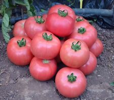 Organic Pink Giant Tomato Vegetable 10 Seeds