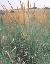 Ornamental Grass Seed:  Indian Grass Seed 100 Seeds  Fresh Seed  Usa seller