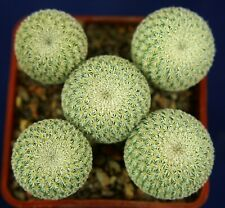 EPITHELANTHA MICROMERIS (Cinco de Mayo)=1/5= cacti 仙人掌 กระบองเพชร kakteen #4677