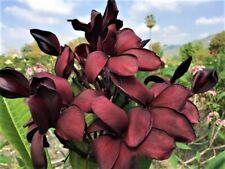 "5 New Plumeria ""Burgundy Wine� Seeds Vibrant Rare Usa Seller&Grower-Ships Free"