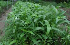 KANG KONG Bamboo Leaf Water Spinach 20 seeds  Aquaponic vegetable  kangkong