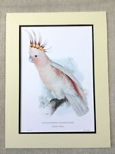 Antique Perroquet Imprimé Leadbeater's Cacatoès Majeur Mitchell Oiseaux Rares