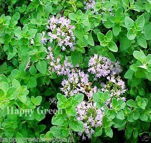 OREGANO ITALIAN Wild Marjoram - 4000 seeds - Origanum Vulgare