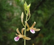 Orchid species : Eulophia andamanensis orchid Species Bulb, 2 Bulbs