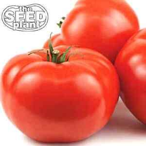Beefsteak Tomato Seeds - 125 SEEDS NON-GMO