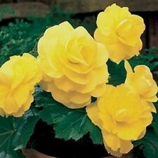 Begonia- Tuberosa Double Yellow- 25 Seeds- BOGO 50% off SALE